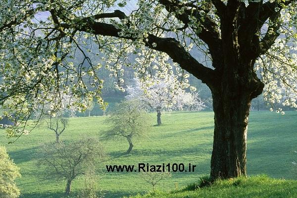 درخت گلابی در بهار