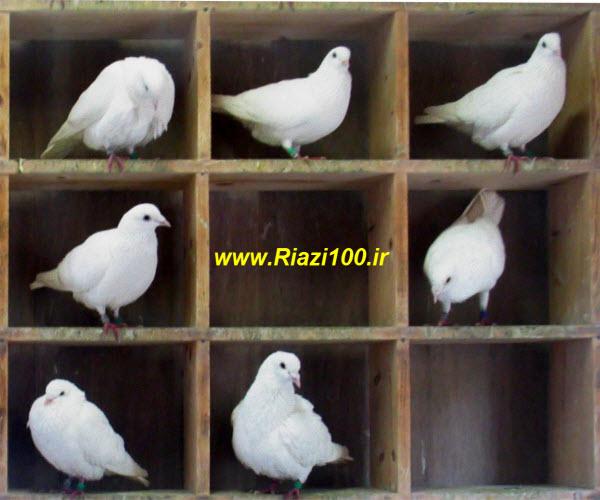 نمونه سوالات اصل لانه کبوتری