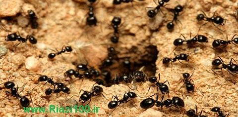 مورچه های گله دار